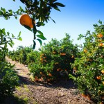 Oranges ripening in the sunshine on orange trees in Valencia Spain