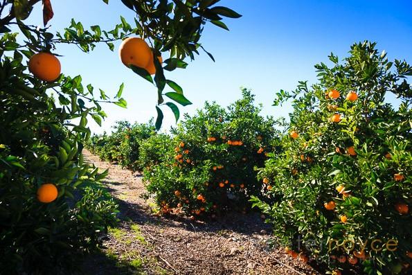 Oranges ripening in the sunshine on orange trees in Valencia Spain